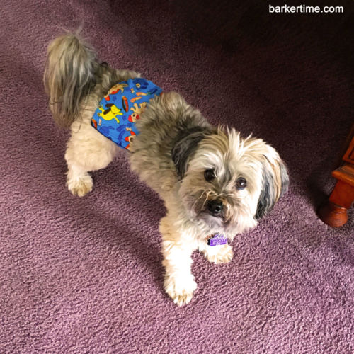 shihtzu dog diaper
