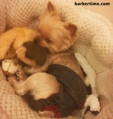 yorkie dog diaper