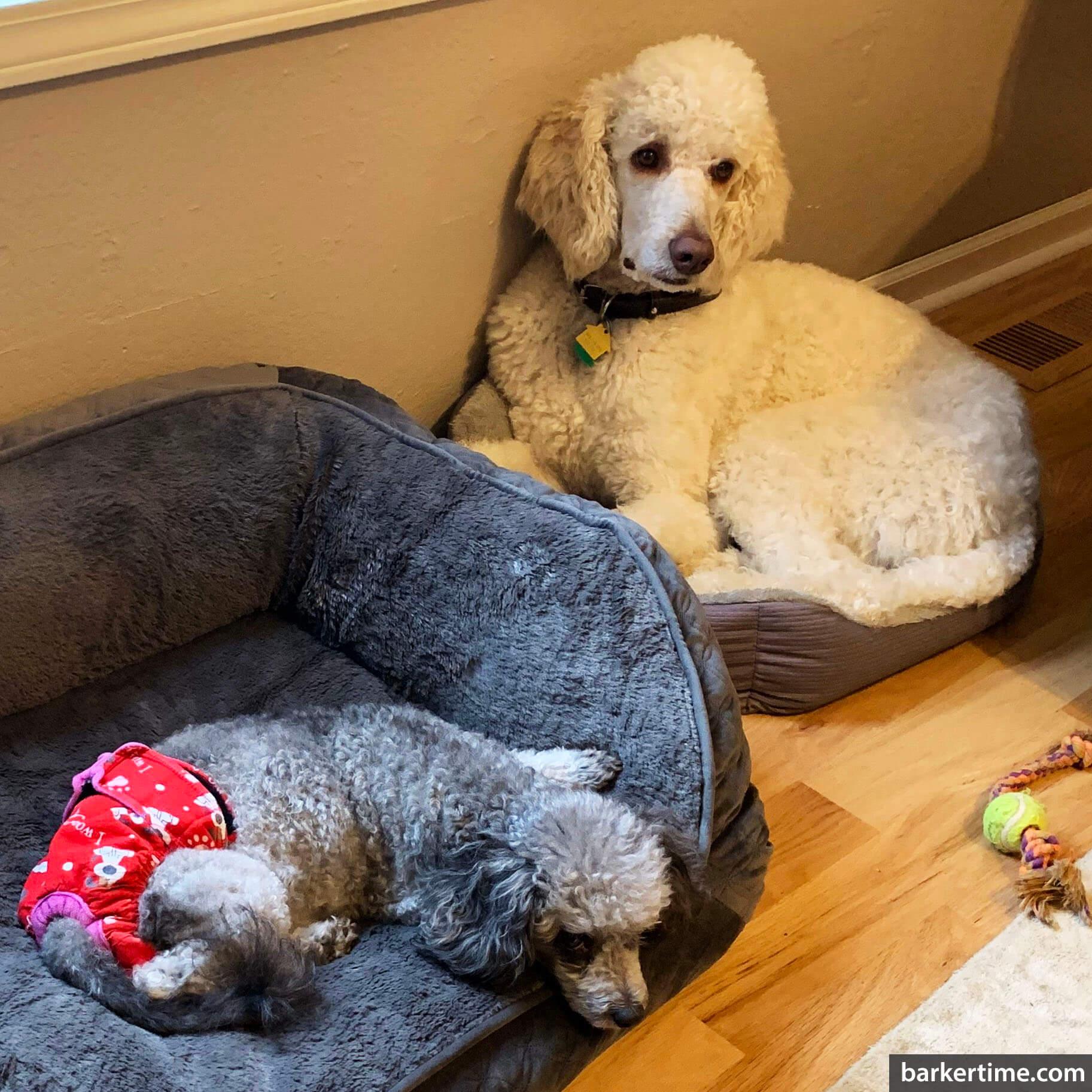 poodle dog diaper
