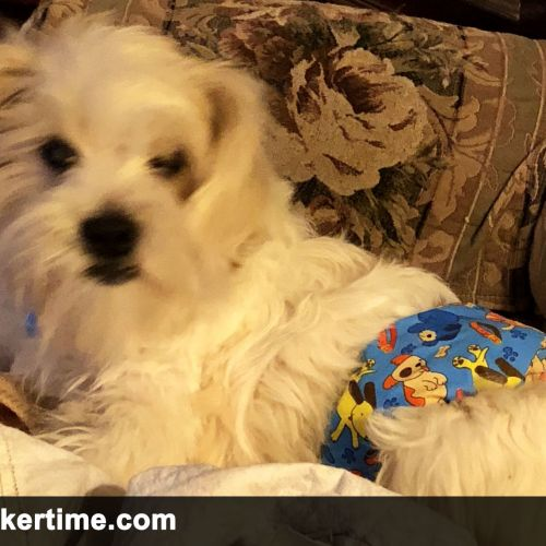 silky terrier belly band