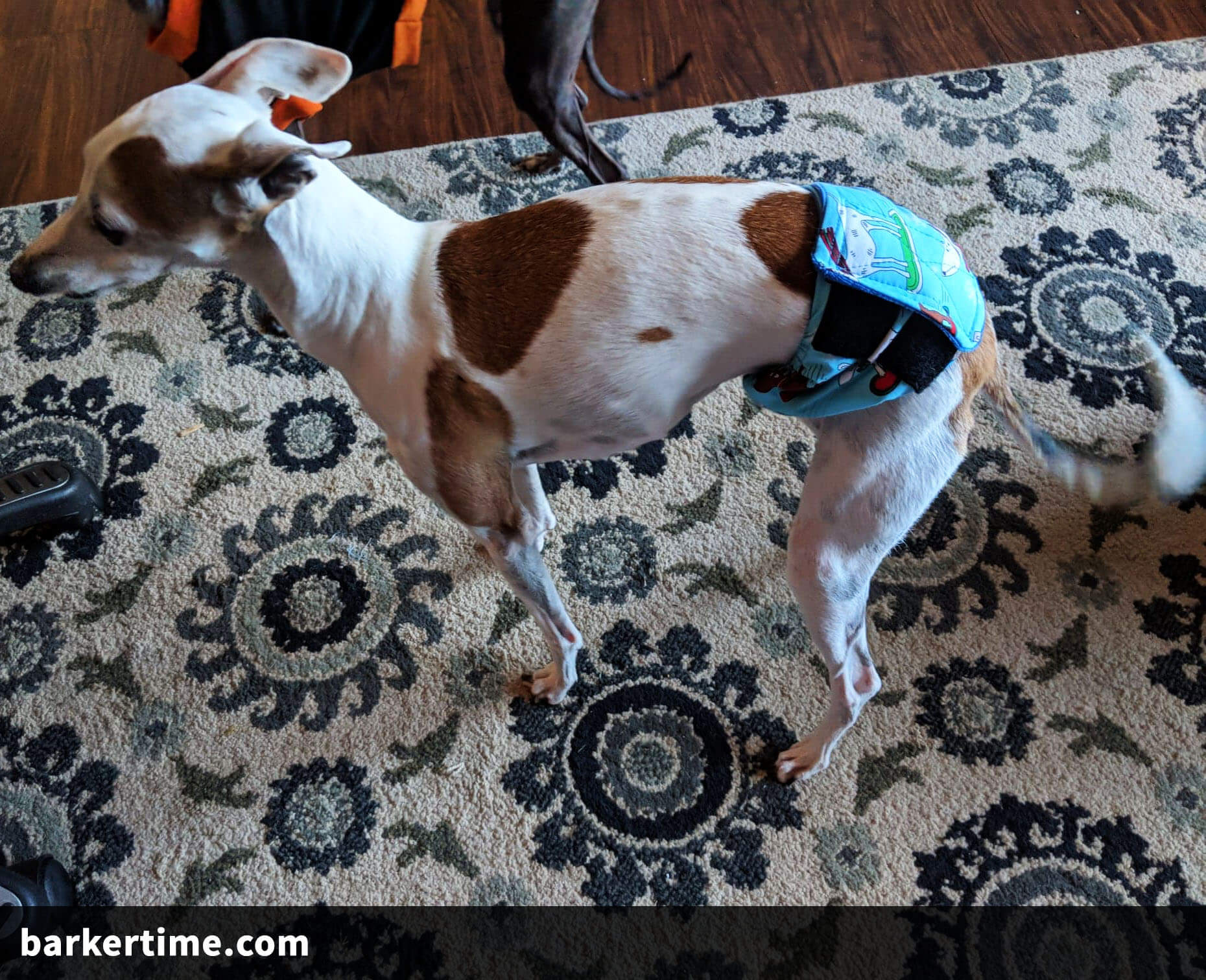 italian greyhound dog diaper