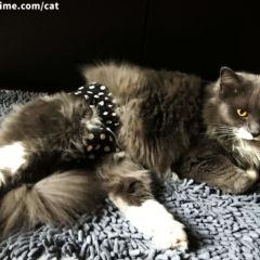 ragdoll cat diaper
