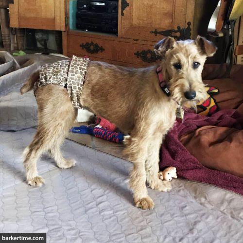 wheaten terrier dog diaper