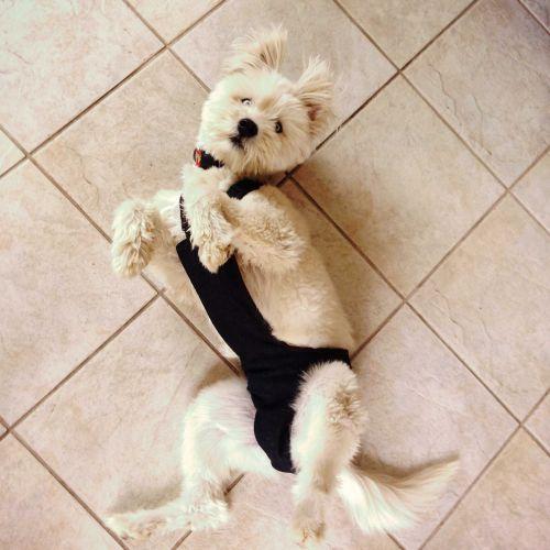 Barkertime Denim Escape Proof Washable Dog Diaper Overall
