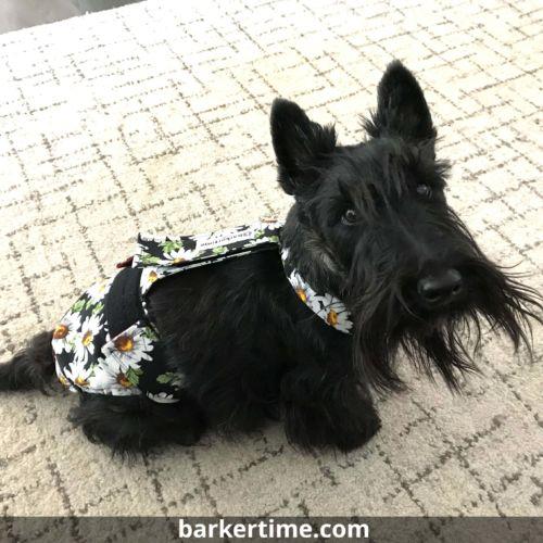 schnauzer dog diaper