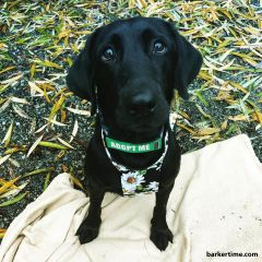 black labrador dog drag bag