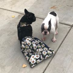 french bulldog drag bag for paralyzed dog