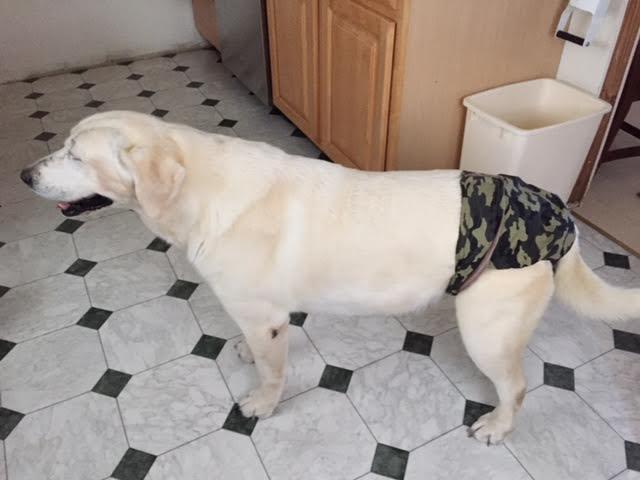 Meryl, a labrador in Barkertime Dog Diaper