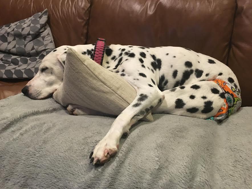 Annie Dalmatian in Barkertime Dog Diaper