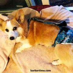 corgi dog diaper