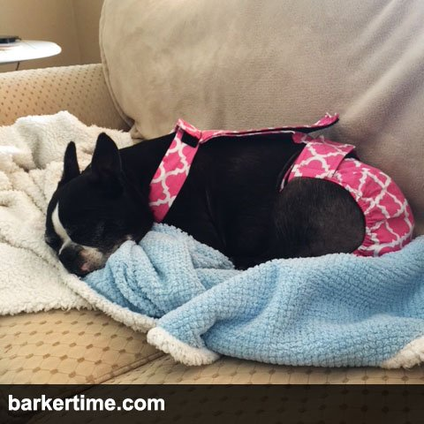 boston terrier dog diapers
