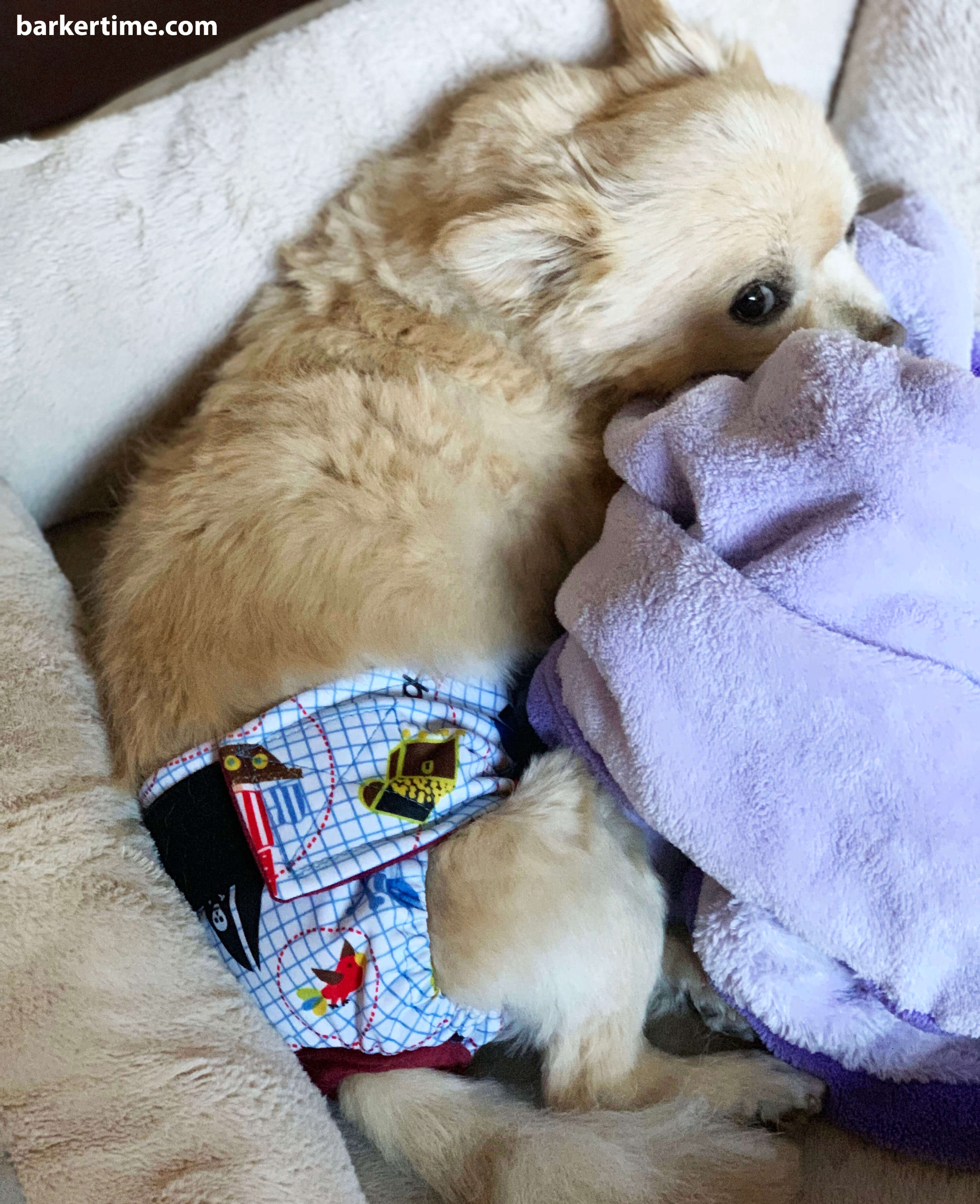 Pomeranian dog diaper