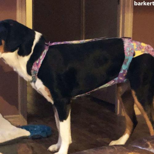great swiss mountain dog diaper