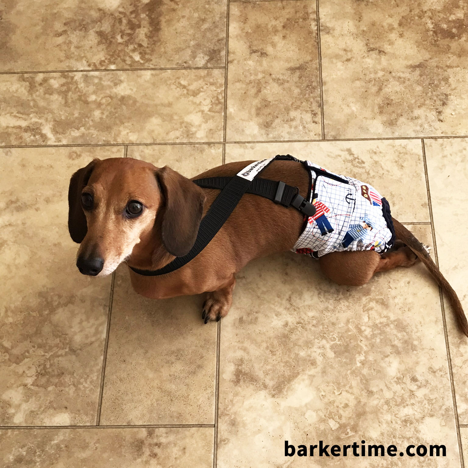dachshund dog diapers