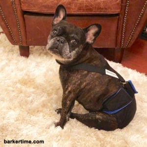 french bulldog diaper