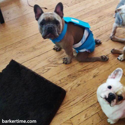 french bulldog dog diaper