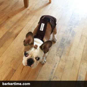 french bulldog diaper