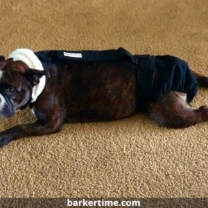 english bulldog dog diaper