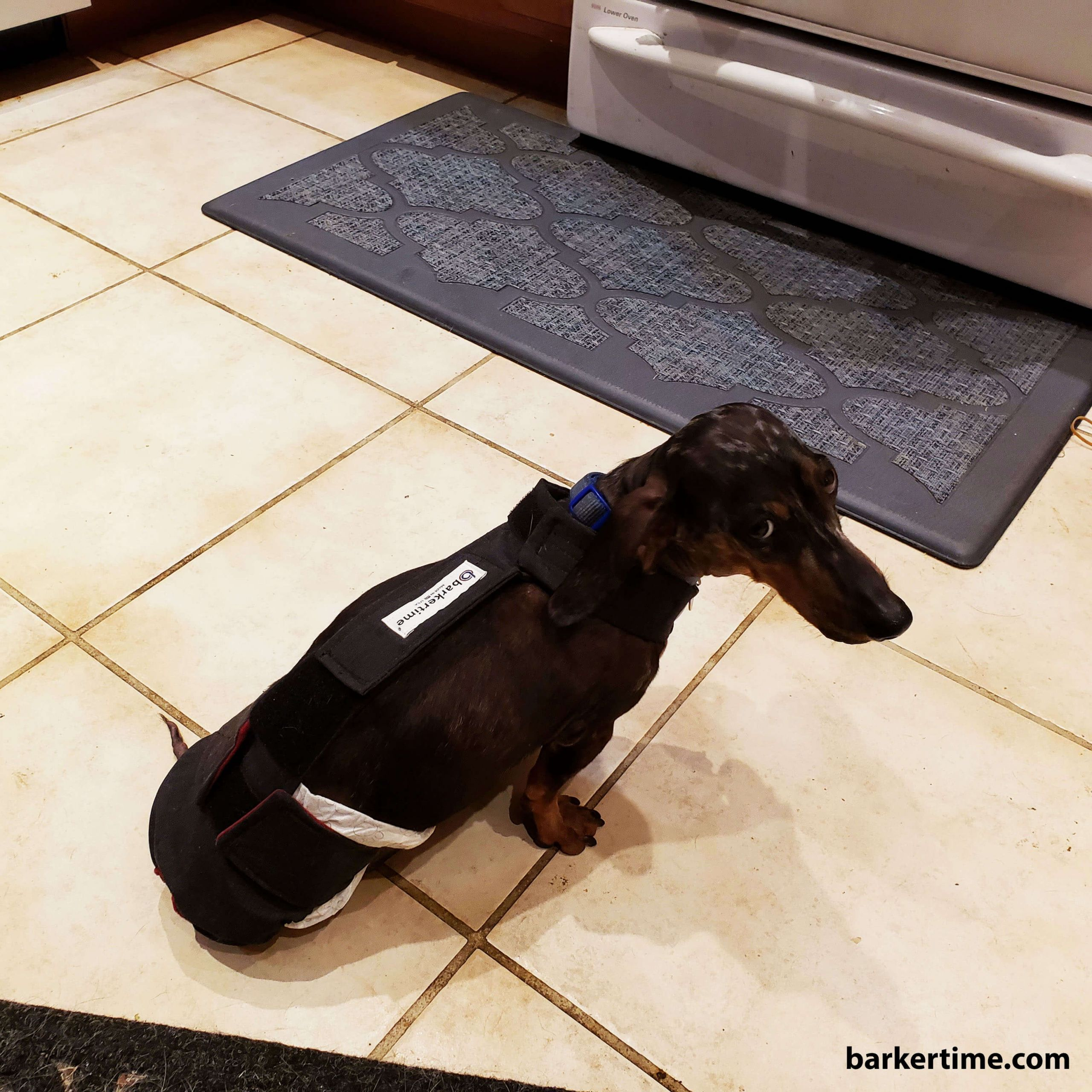 dachshuund dog diaper