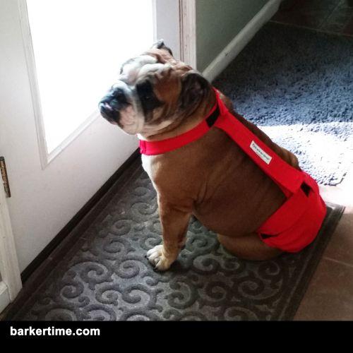 english bulldog diaper