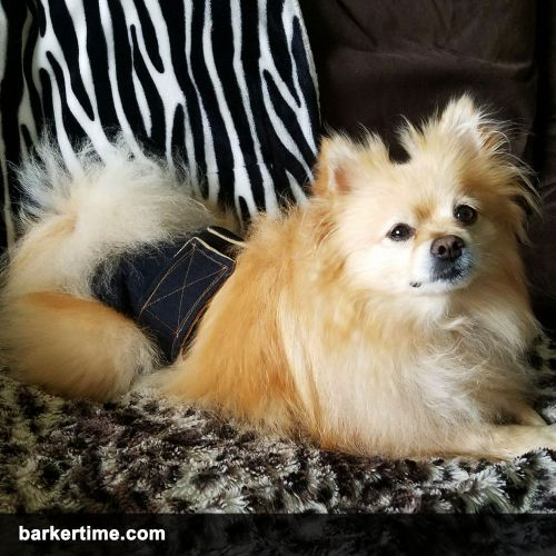 Pomeranian dog diapers