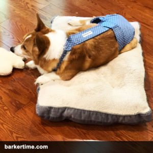 corgi dog diaper