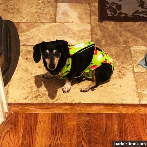 dachshund wiener dog diaper