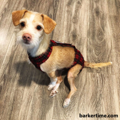 terrier mix dog diaper