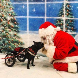 french bulldog diaper with santa christmas