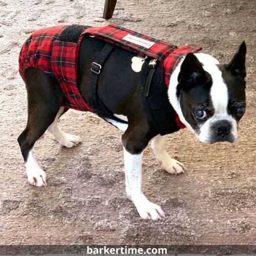 boston terrier dog diaper