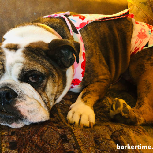 english bulldog dog diaper