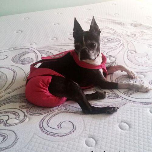 boston terrier dog diaper