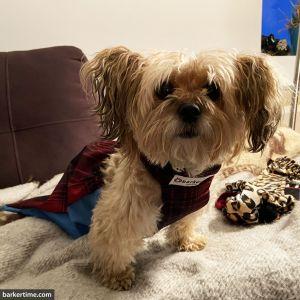 yorkie paralyzed dog drag bag