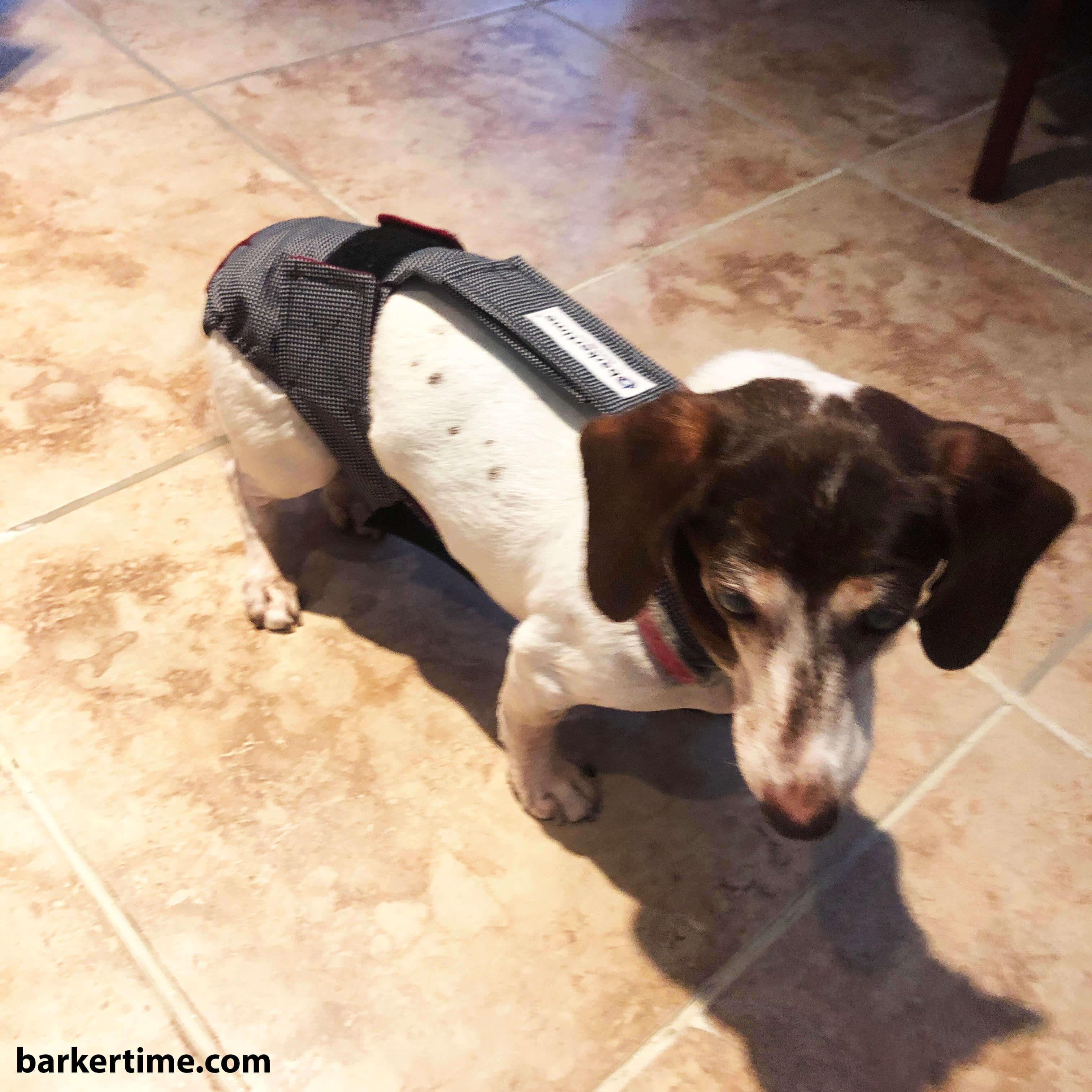 dachshund dog diaper