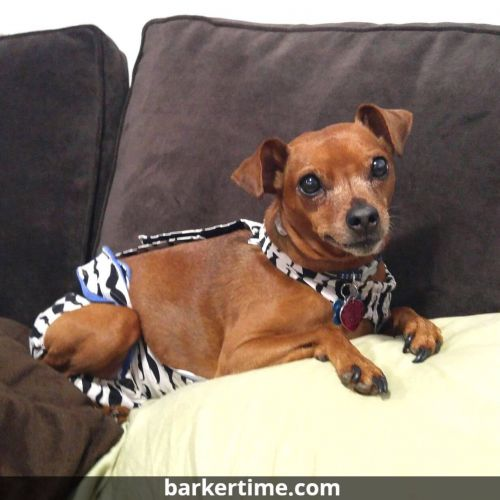 minpin dog diaper