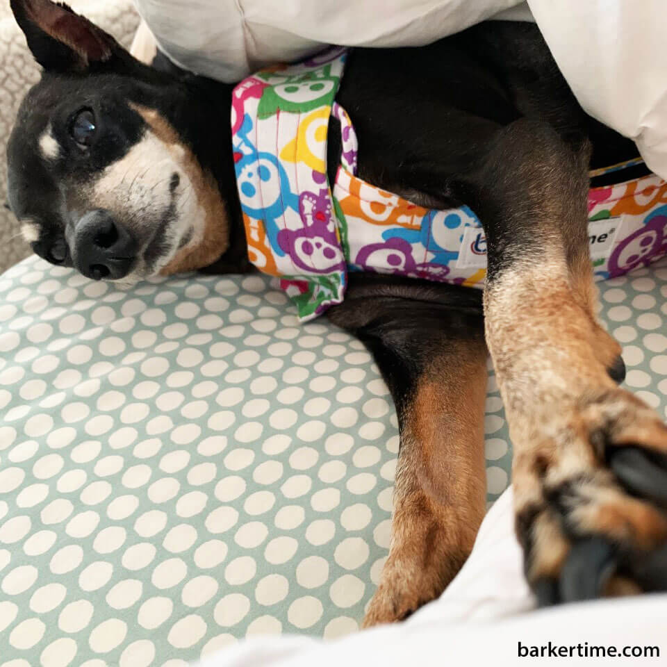 chihuahua dog diaper