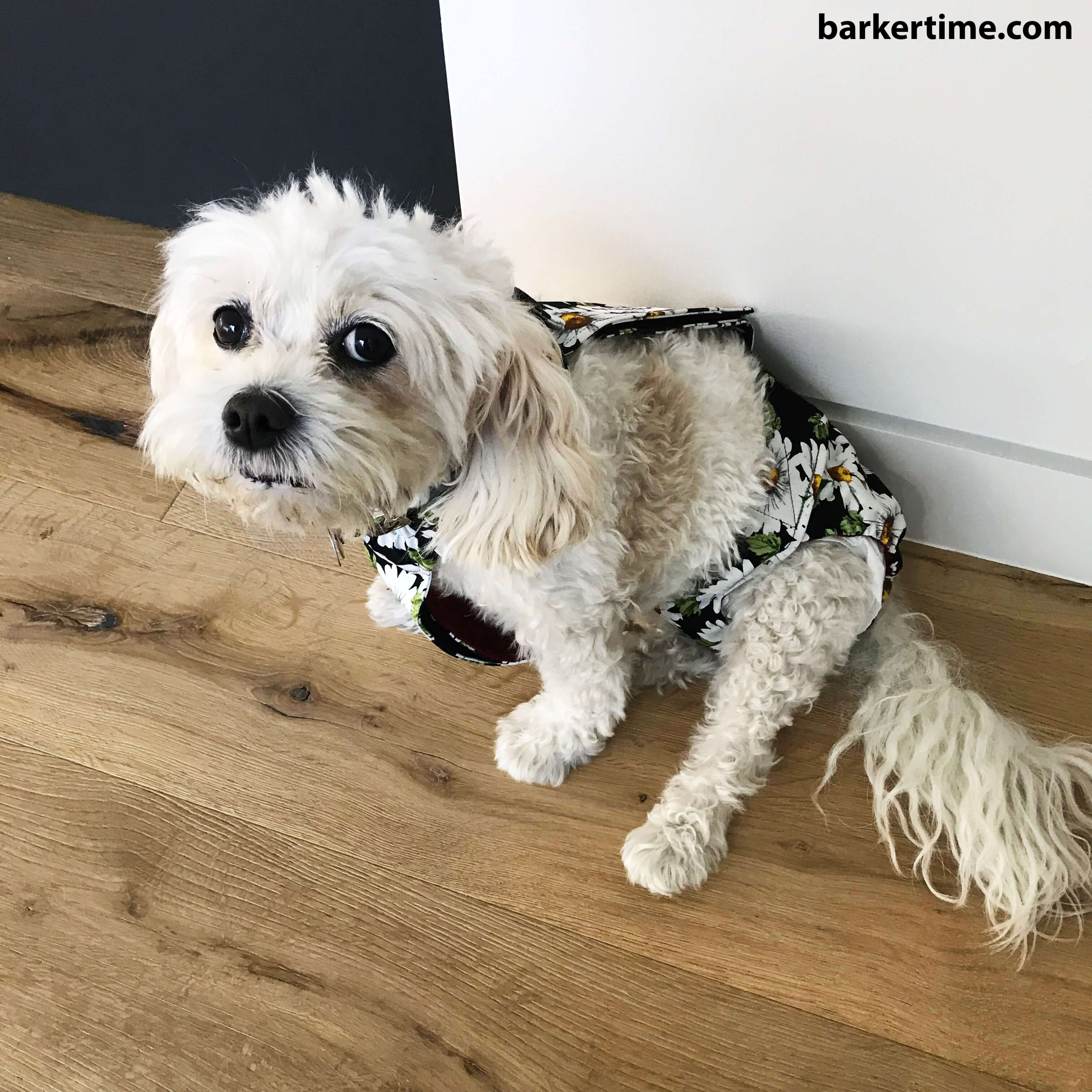 maltipoo dog diaper