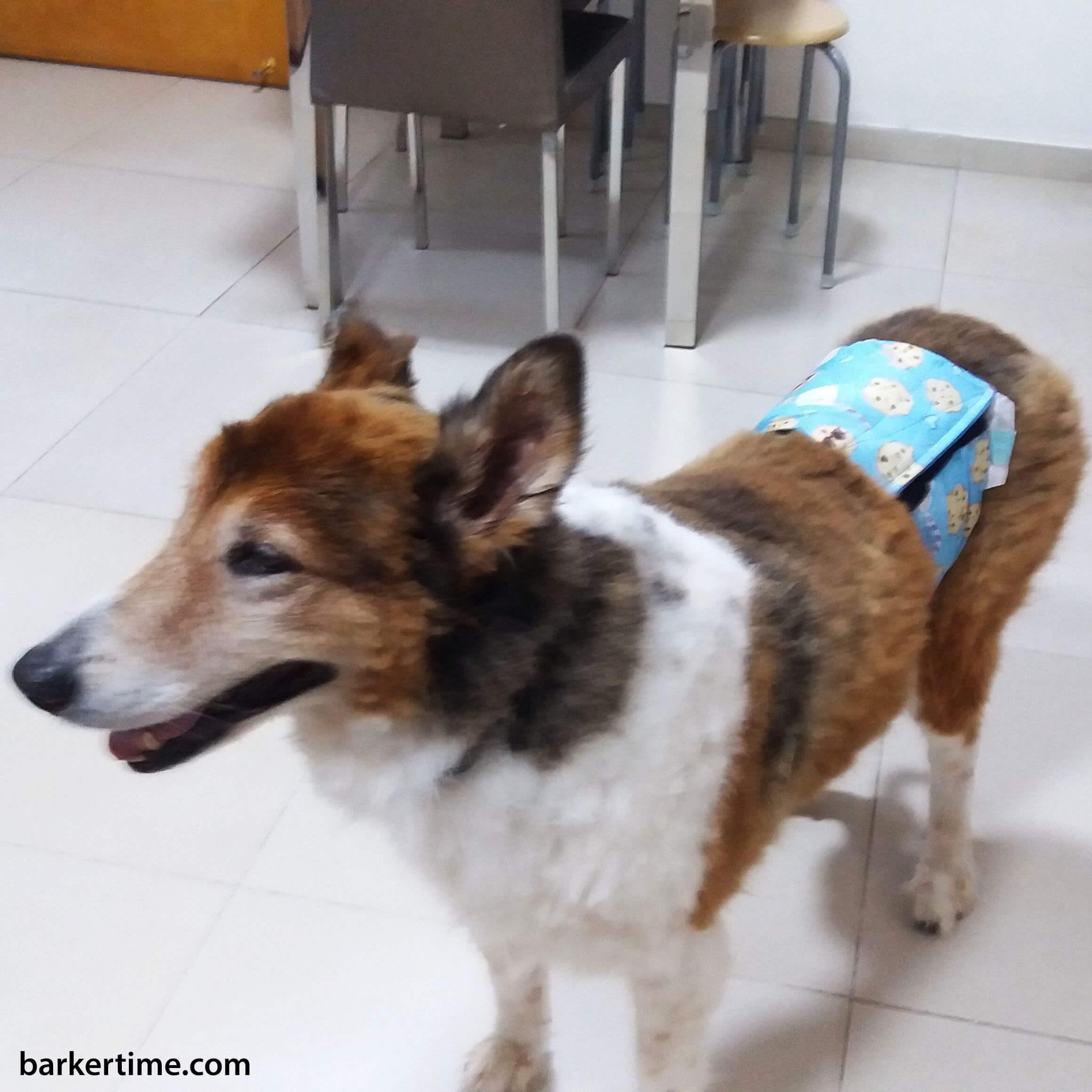 border collie dog diaper