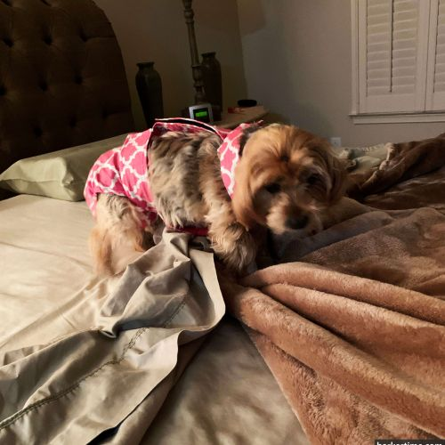 yorkie terrier dog diaper